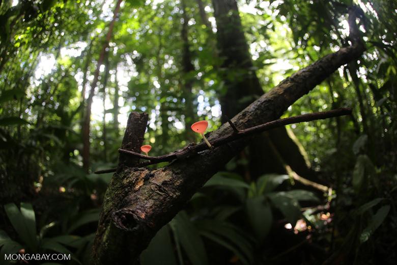 Red cup fungi (Cookeina speciosa) [costa_rica_la_selva_0526]
