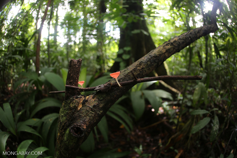 Red cup fungi (Cookeina speciosa) [costa_rica_la_selva_0532]