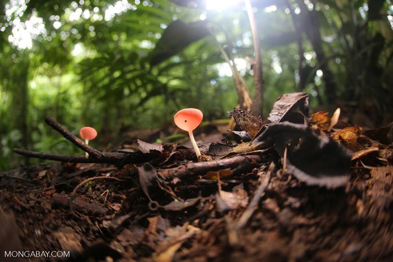 Red cup fungi (Cookeina speciosa) [costa_rica_la_selva_0541]
