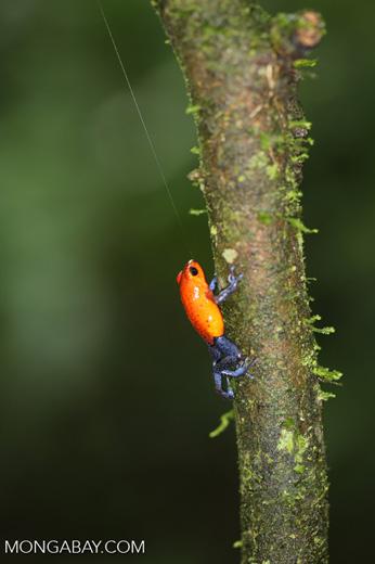 Strawberry dart frog [costa_rica_la_selva_0568]
