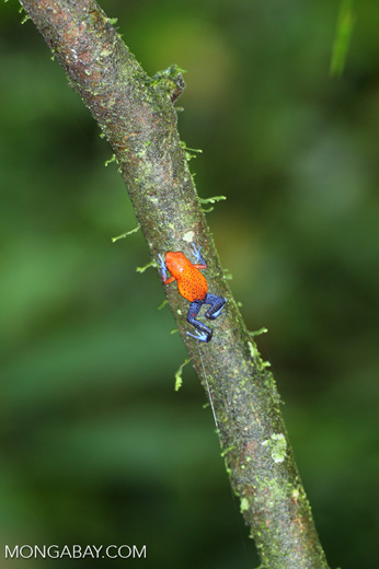 Strawberry dart frog [costa_rica_la_selva_0574]