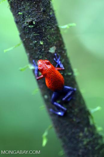 Strawberry dart frog [costa_rica_la_selva_0577]