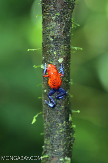 Strawberry dart frog [costa_rica_la_selva_0584]