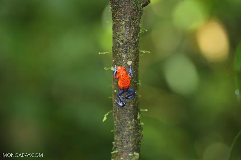 Strawberry dart frog [costa_rica_la_selva_0585]