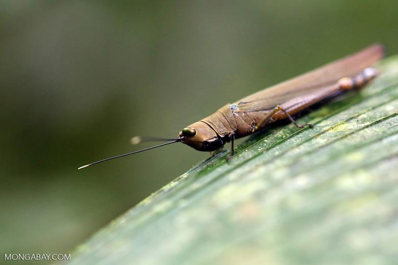 Brown grasshopper [costa_rica_la_selva_0609]