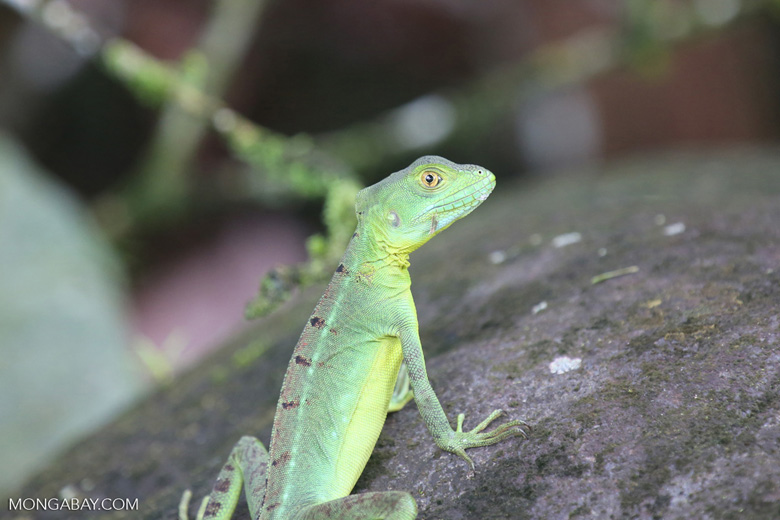 Young green basilisk