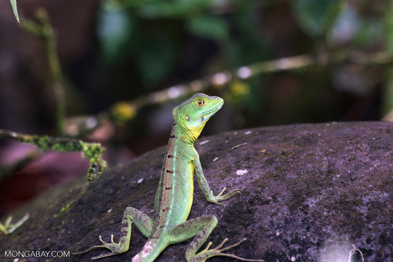 Immature green basilisk [costa_rica_la_selva_0624]