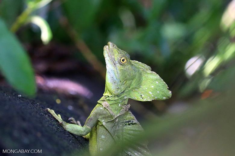 Green basilisk [costa_rica_la_selva_0634]