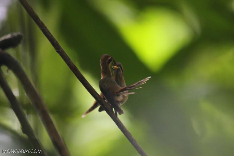Hummingbird feeding its chick [costa_rica_la_selva_0673]