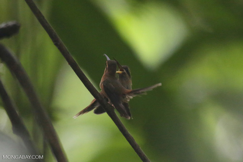 Hummingbird feeding its chick [costa_rica_la_selva_0675]
