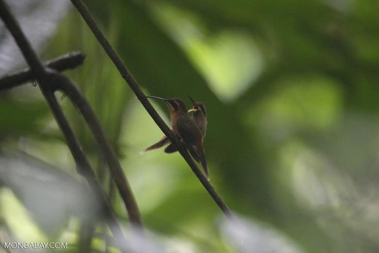 Hummingbird feeding its chick [costa_rica_la_selva_0677]