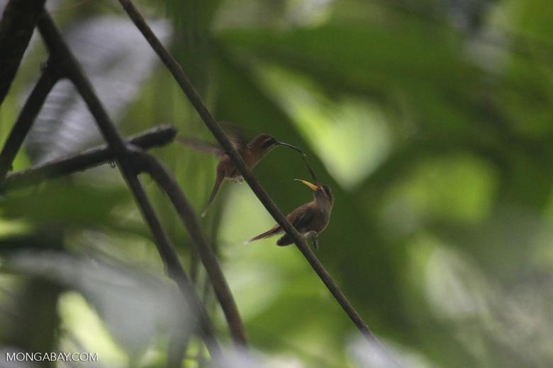 Hummingbird feeding its chick [costa_rica_la_selva_0684]