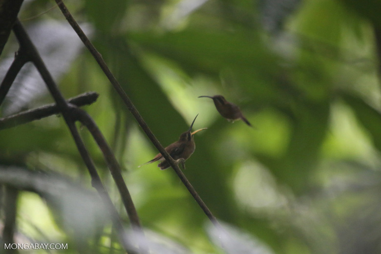Hummingbird feeding its chick [costa_rica_la_selva_0690]