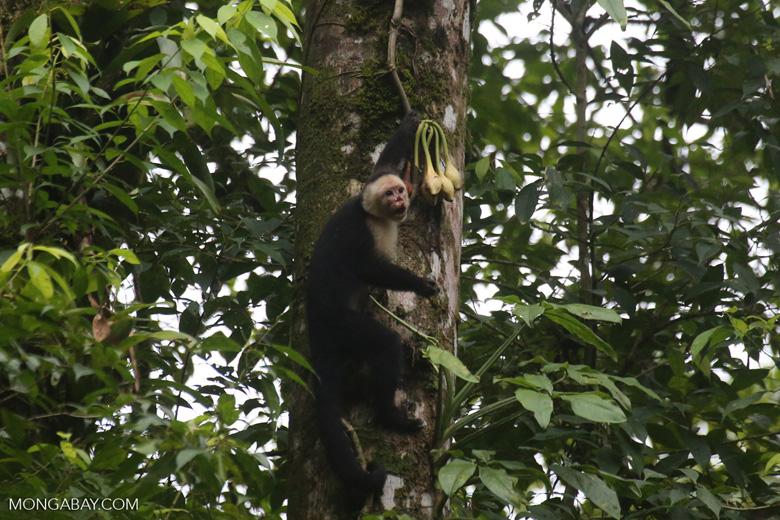 Capuchin monkey in Costa Rica [costa_rica_la_selva_0717]