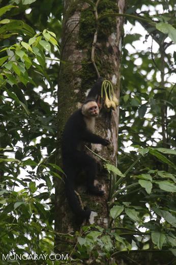 Capuchin monkey in Costa Rica [costa_rica_la_selva_0718]