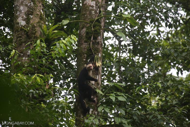 Capuchin monkey in Costa Rica [costa_rica_la_selva_0721]