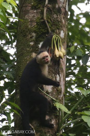 Capuchin monkey in Costa Rica [costa_rica_la_selva_0722]