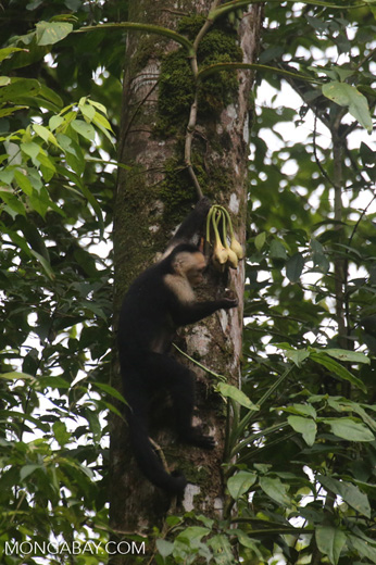 Capuchin monkey in Costa Rica [costa_rica_la_selva_0723]