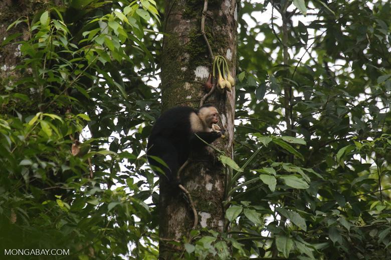 Capuchin monkey in Costa Rica [costa_rica_la_selva_0731]
