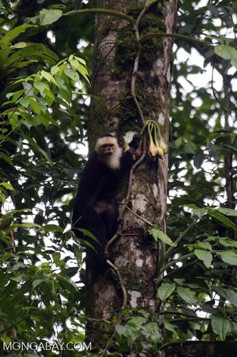 Capuchin monkey in Costa Rica [costa_rica_la_selva_0737]