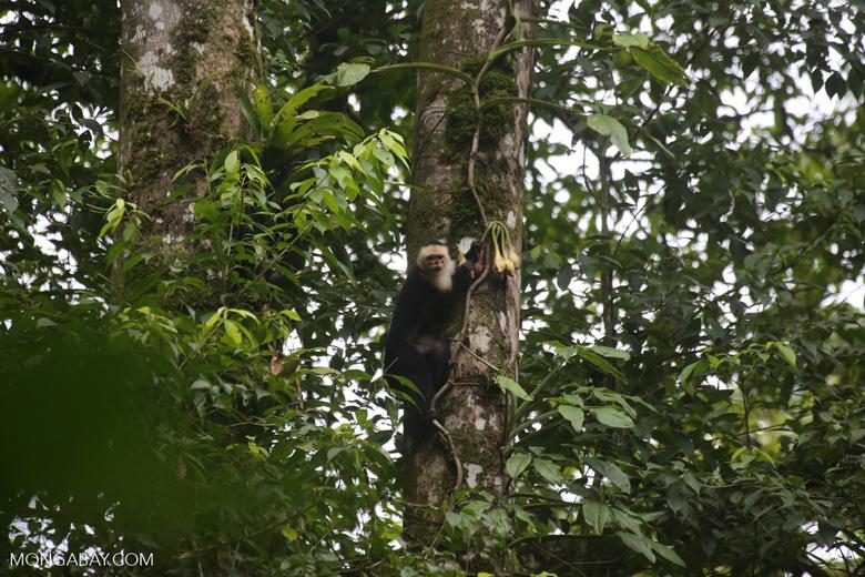 Capuchin monkey in Costa Rica [costa_rica_la_selva_0738]