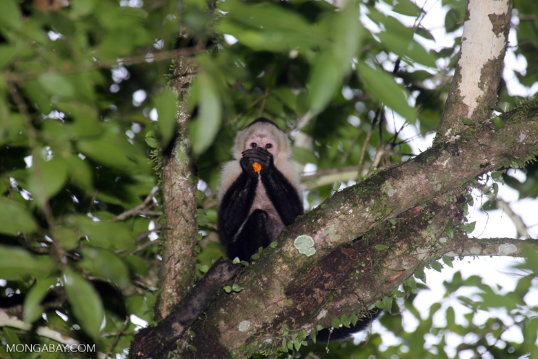 Capuchin monkey in Costa Rica [costa_rica_la_selva_0758]
