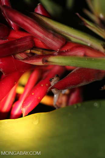 Craugastor crassidigitus frog [costa_rica_la_selva_0787]