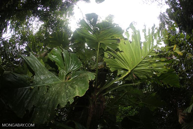 Philodendrons [costa_rica_la_selva_0853]