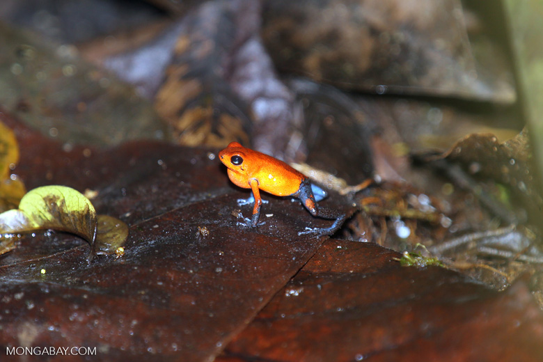 Strawberry poison-dart frog (Oophaga pumilio)