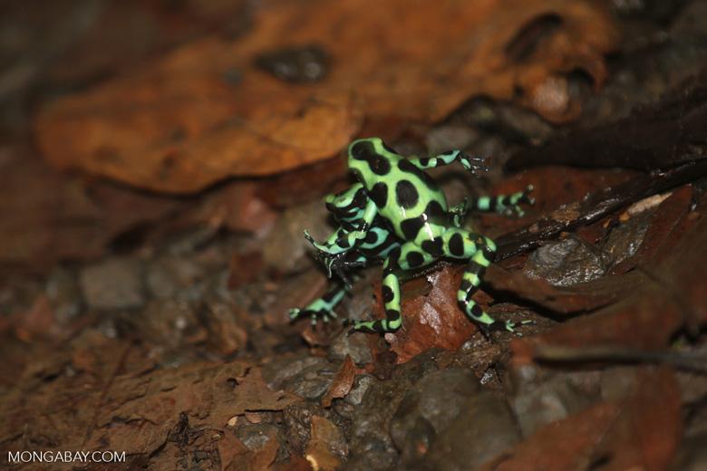 Green-and-black poison dart frogs fighting [costa_rica_la_selva_0959]