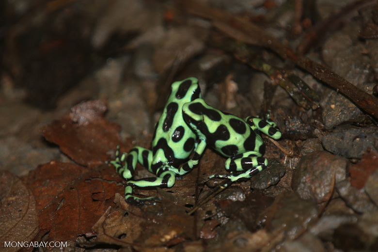 Green-and-black poison dart frogs fighting [costa_rica_la_selva_0963]