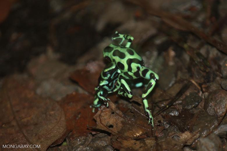 Green-and-black poison dart frogs fighting [costa_rica_la_selva_0965]