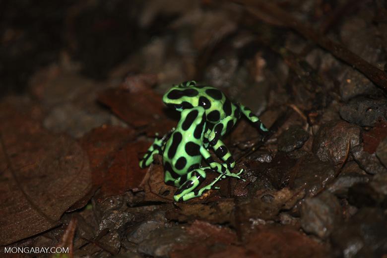 Green-and-black poison dart frogs fighting [costa_rica_la_selva_0966]