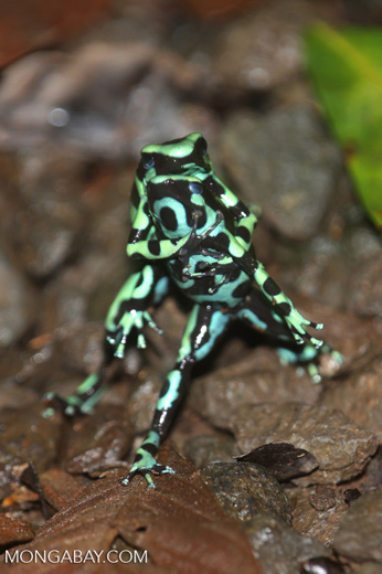 Green-and-black poison dart frogs fighting [costa_rica_la_selva_0971]