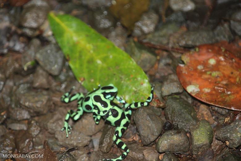 Green-and-black poison dart frogs fighting [costa_rica_la_selva_0985]