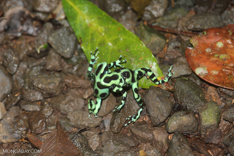 Green-and-black poison dart frogs fighting [costa_rica_la_selva_0986]
