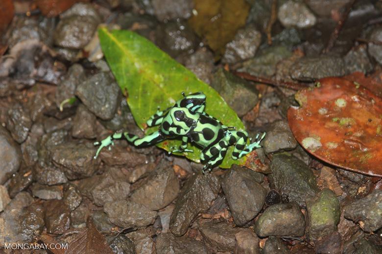Green-and-black poison dart frogs fighting [costa_rica_la_selva_0987]
