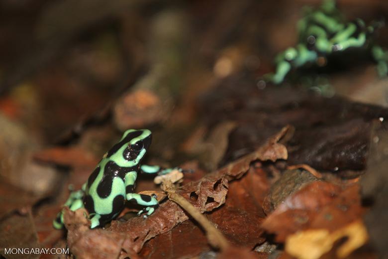 Green-and-black poison dart frogs fighting [costa_rica_la_selva_0994]