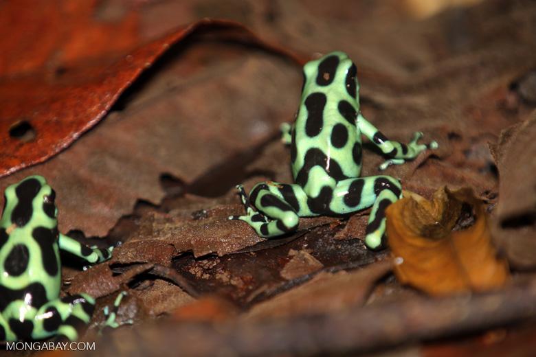 Green-and-black poison dart frogs fighting [costa_rica_la_selva_0995]