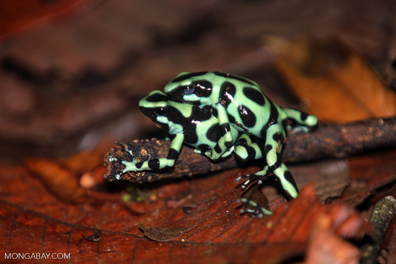 Green-and-black poison dart frogs fighting [costa_rica_la_selva_0996]