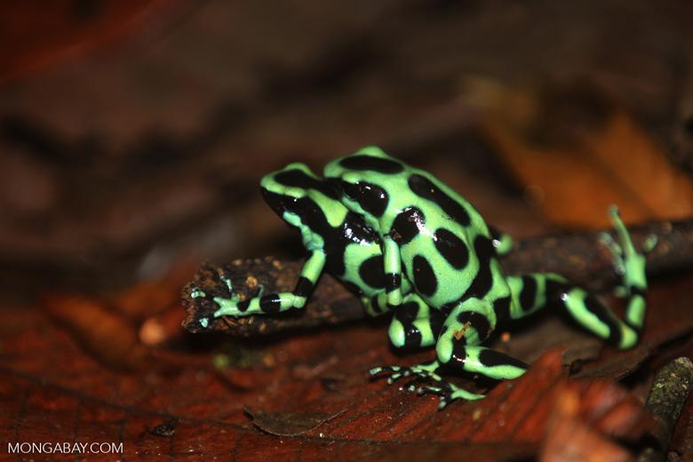 Green-and-black poison dart frogs fighting [costa_rica_la_selva_0997]