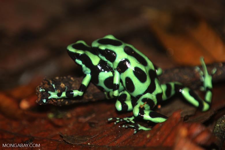 Green-and-black poison dart frogs fighting [costa_rica_la_selva_0998]