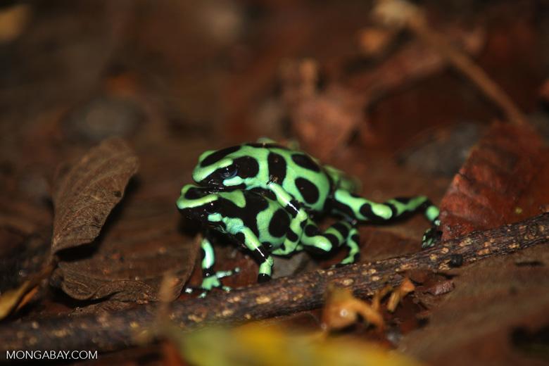 Green-and-black poison dart frogs fighting [costa_rica_la_selva_1008]