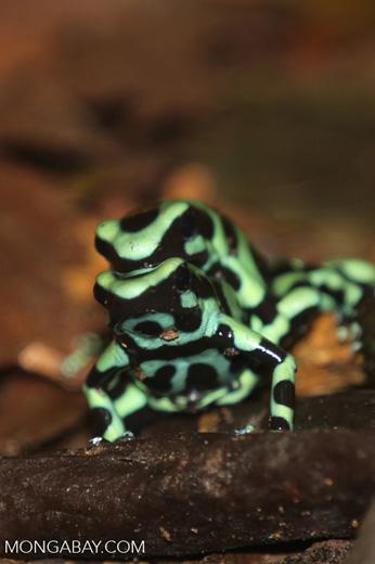 Green-and-black poison dart frogs fighting [costa_rica_la_selva_1011]