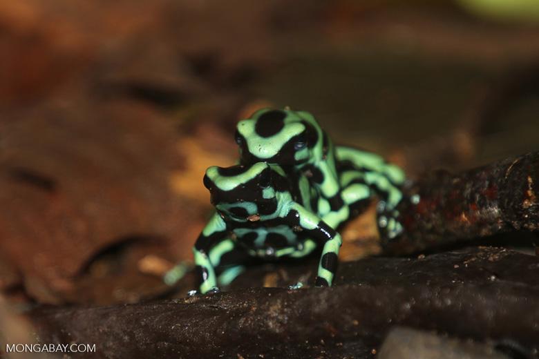 Green-and-black poison dart frogs fighting [costa_rica_la_selva_1015]