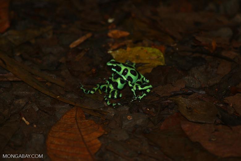 Green-and-black poison dart frogs fighting [costa_rica_la_selva_1018]