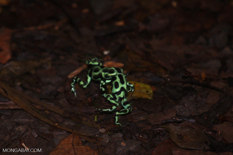 Green-and-black poison dart frogs fighting [costa_rica_la_selva_1026]