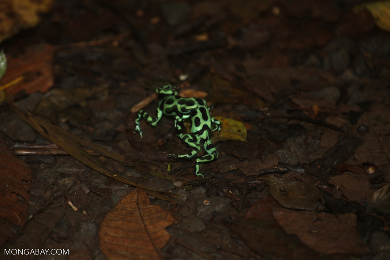 Green-and-black poison dart frogs fighting [costa_rica_la_selva_1027]