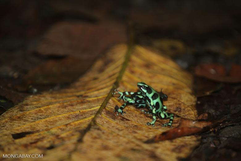 Green-and-black poison dart frogs fighting [costa_rica_la_selva_1033]