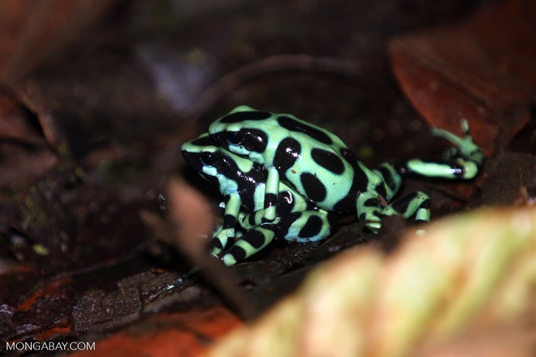 Green-and-black poison dart frogs fighting [costa_rica_la_selva_1035]